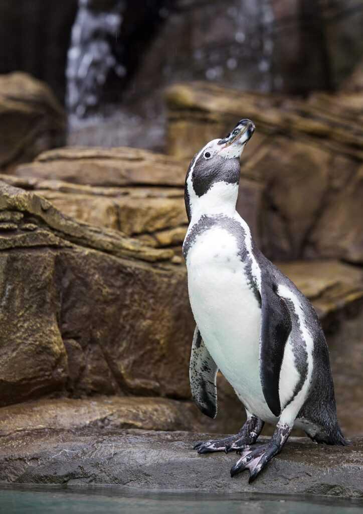 algorytm pingwin